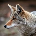 coyote removal charlottesville va