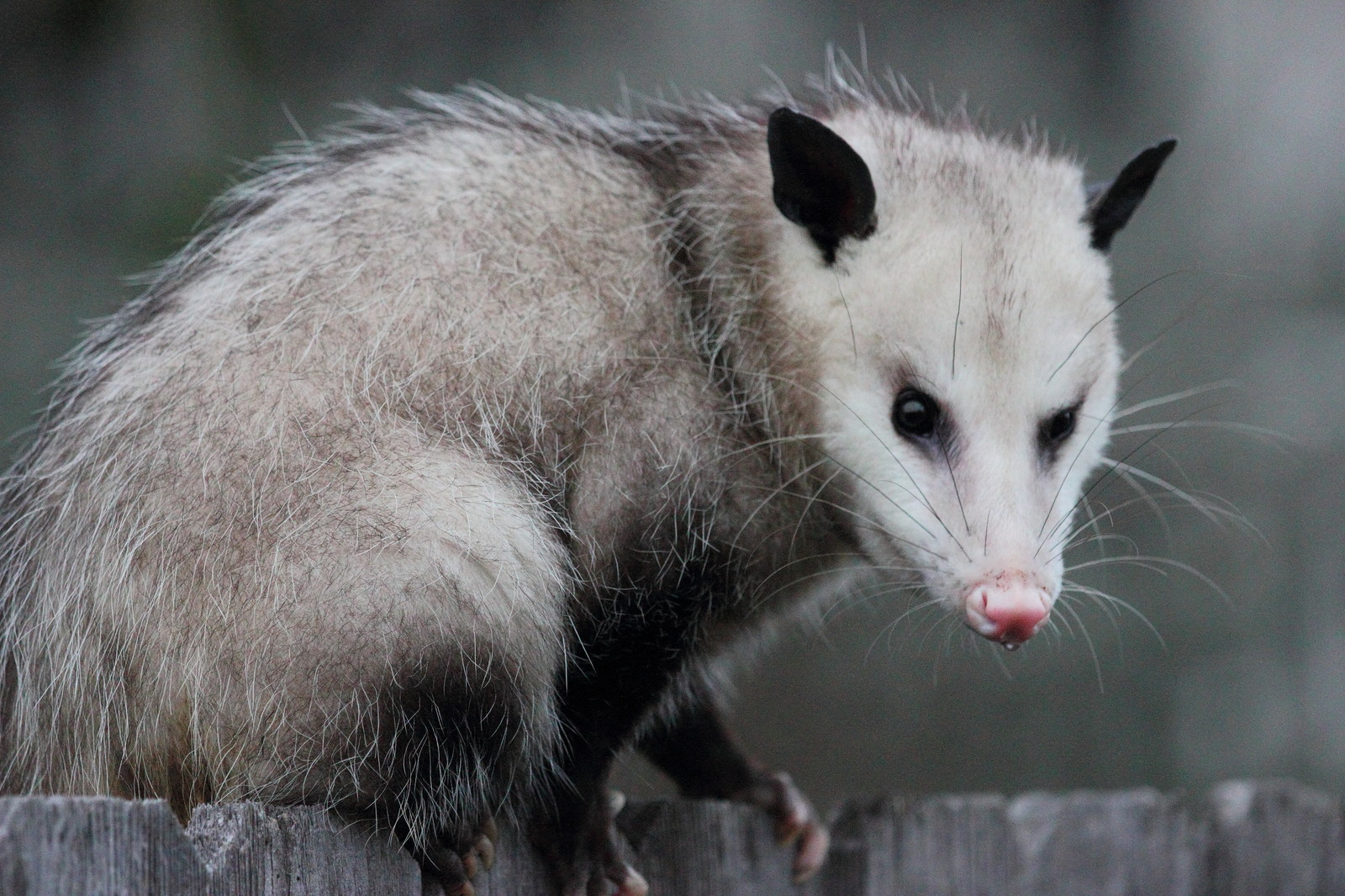 Opossum Removal - Charlottesville Animal Removal & Pest Control
