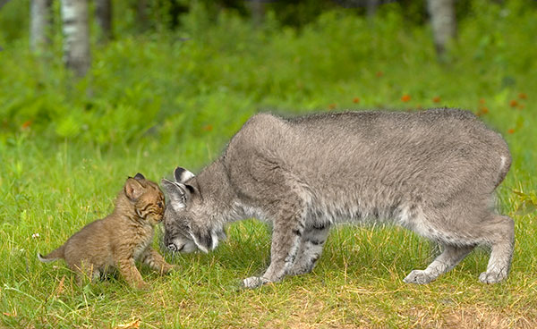 Animal Removal Services of Virginia prefers non-lethal nuisance bobcat removal techniques.