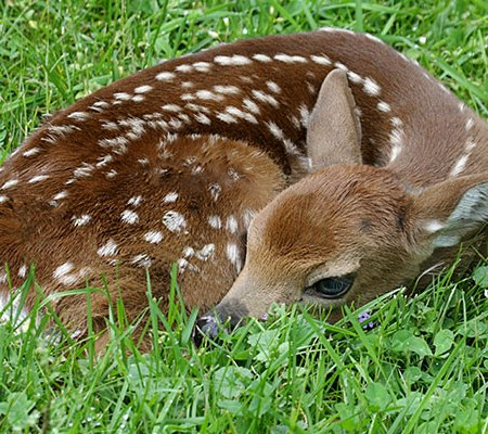 Contact Animal Removal Services Of Virginia deer management control office if you need help with an injured fawn.