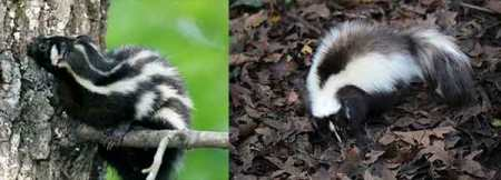 The spotted skunk is on the left, the striped on the right. Call Animal Removal Services Of Virginia - Humane Skunk Trapping Removal Experts.