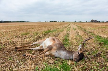 Have you found a dead deer on your Virginia property? Well, we suggest you don't move it yourself given its size and the demands of  disposal. A photo of a dead deer in a field.