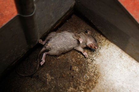 A dead animal can be in a number of places in your home. Ideally, a dead animal in plain site is the simplest case. But many people just don't want to handle any dead animal so they call Animal Removal Services Of Virginia Dead Animal Removal Removal Service. A photo of a dead rat in the basement.