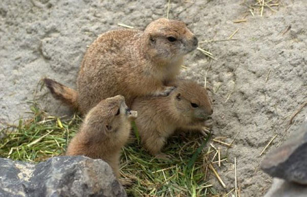 Animal Removal Services of Virginia and groundhog babies