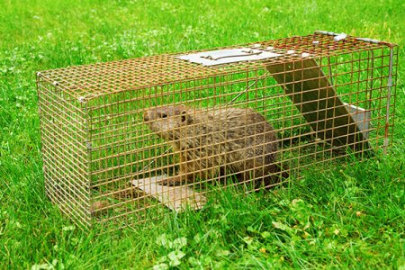 Animal Removal Services Of Virginia must euthanize any captured groundhog since by Virginia law we cannot euthanize them.