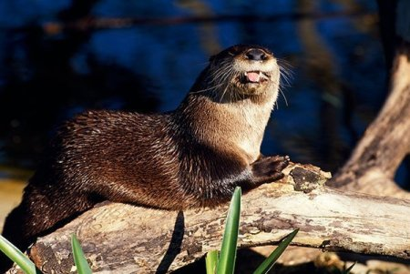 Otters will sun themselves on river logs.  Contact Nuisance Otter Trapping Removal – Animal Removal Services Of Virginia.
