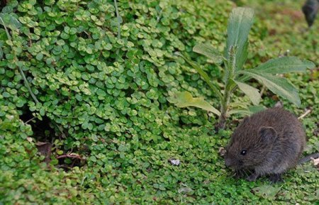 Animal Removal Services Of Virginia - Humane Vole Trapping Removal Experts. Photo of Vole in a garden.