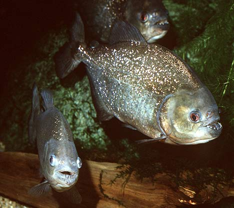 piranha 1 The 10 Most Horrific Animals That Scare People