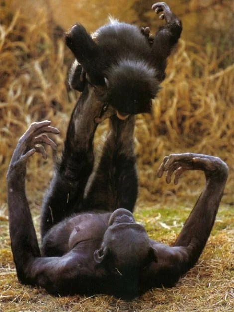Bonobo o macaco pansexual