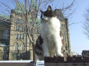 Fluffy,  one of the last cats on Parliament Hill.