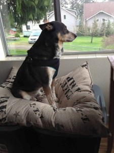 Bo the dog has been to school much more recently than we have––but he,  too,  spent a lot of time gazing out the window.