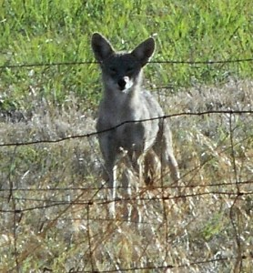Coyote on alert. (Dennis Baker photo)