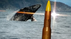A .50 caliber bullet lost by the Makah whalers in 1999, in front of a breaching grey whale photographed by NOAH. (Photo collage by Beth Clifton.)