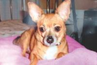 Bentley, Chihuahua belonging to the Kimber family of Fitchburg, Massachusetts, killed by a pit bull in 2015.