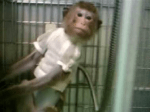 (From PETA video of SNBL monkey facilities.)