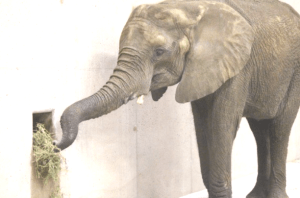 One of the elephants who were flown to Omaha. Note the eye discharge. (Henry Doorly Zoo photo)