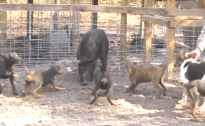"""Hog-dog rodeo"" scene, from YouTube video."