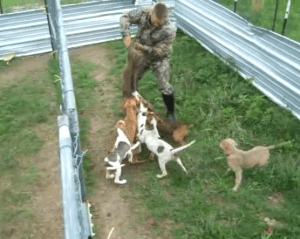 Hog-dogger holds squealing pig up by hind legs for dogs to attack. (From YouTube video.)