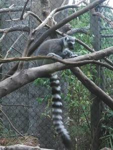 Lemur. (Kenny Robbins photo)