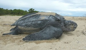 Leatherback sea turtle. (Wikipedia photo)