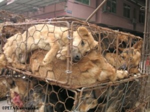 The pelts of dogs killed for meat are usually sold to furriers. (PETA photo)
