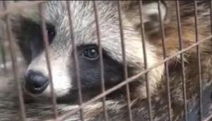 Raccoon dog, called hoazi in China, tanuki in Korea and Japan. (Humane Society International)