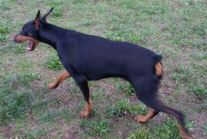 Doberman with surgically altered ears. (Beth Clifton photo)