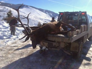 Elk who died in deep snow. (U.S. fFsh & Wildlife Service photo)