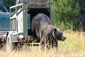 """Problem"" grizzly being relocated deeper into wild habitat. (U.S. Fish & Wildlife Service photo)"