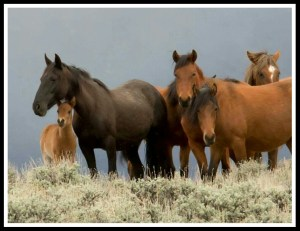 (Pine Nut Wild Horse Advocates photo)