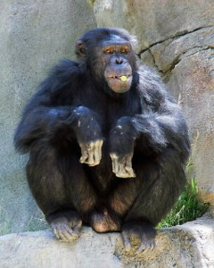 Ripley, the Los Angeles Zoo chimp who killed chimp babies in 1999 and 2012.