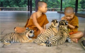(Tiger Temple photo)
