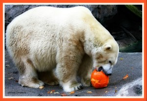 Cincinnati Zoo polar bear. (Flickr photo)