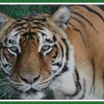 A tale of two of the world's oldest tigers,  both named Bengali