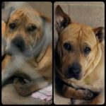 New Haven pit bull victim dies;  pit mix kills 3-day-old girl on same day