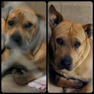 One of these two pit bull/Sharpei mixes killed a 3-day-old girl in Fresno, California. Both are now in quarantine.