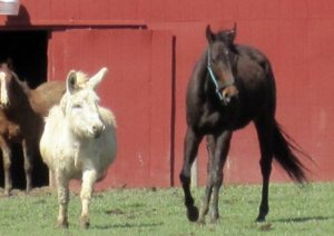Rescued thoroughbred Eight Belles with companion donkey.  (PETA photo)
