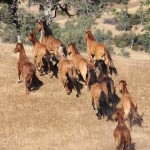 Eight times as many wild horses Down Under as in U.S.,  plus camels