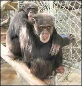 Amber and Alysse chimpanzees