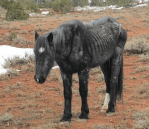 20-year-old wild horse. (BLM photo)