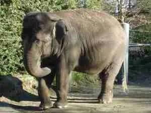 Bamboo. (Community Coalition for Elephant Retirement photo)
