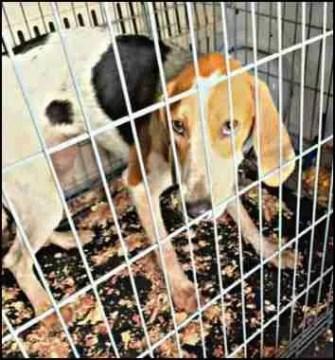 Beagle rescued in Hurricane Laura