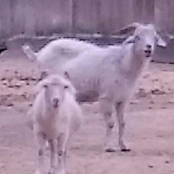 Beth's 2 goats