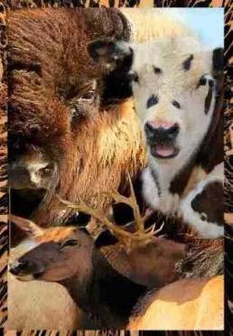 Bison, elk, steer