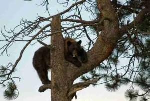 Black bear up a tree. (Larry Caine photo)