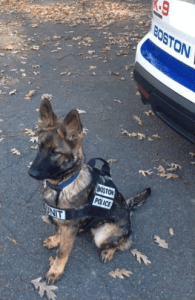 Boston police puppy.
