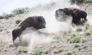 BFC bison