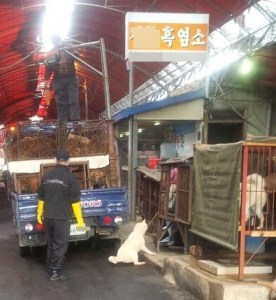 This incident on February 9,  2014 led to the recommendation of an indictment against a dog slaughterhouse in Busan,  South Korea.  (KAPCA photo)