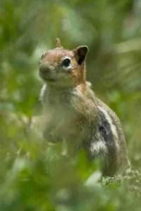 Chipmunk (Larry Caine photo)