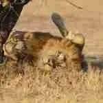 Cecil-the-lion killer Walter James Palmer walks